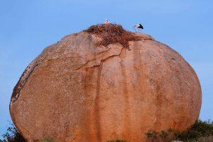 White Storks Nest