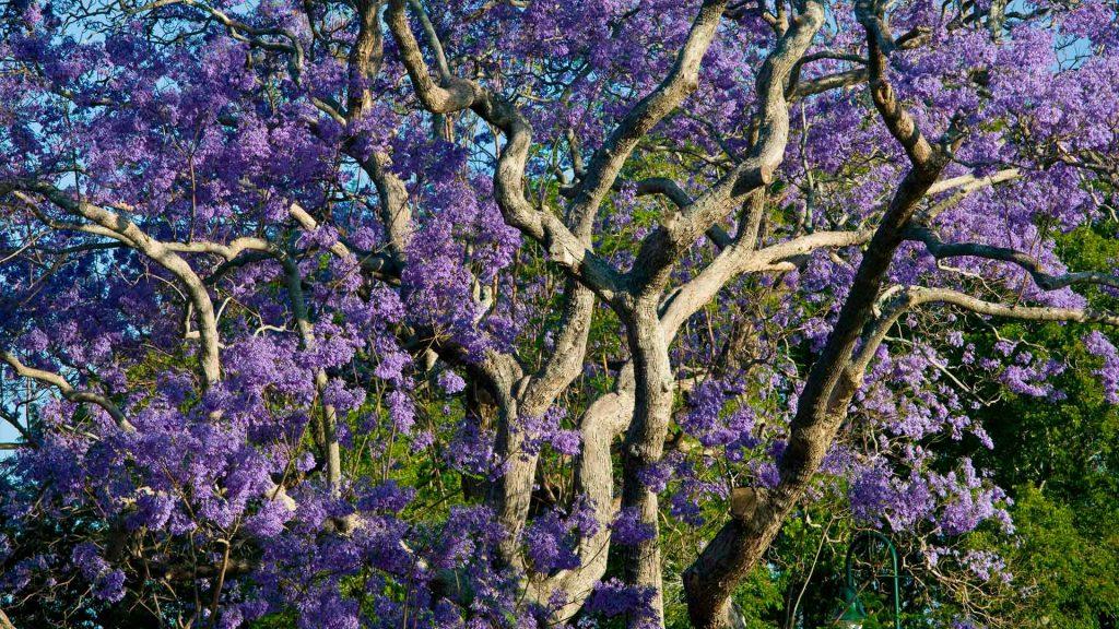 Blooming Jacaranda
