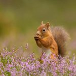Squirrel Heather