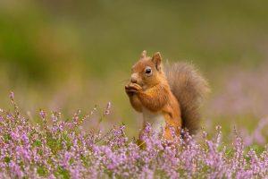 Squirrel Heather