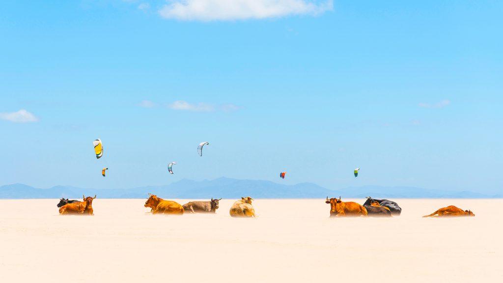 Tarifa Cows