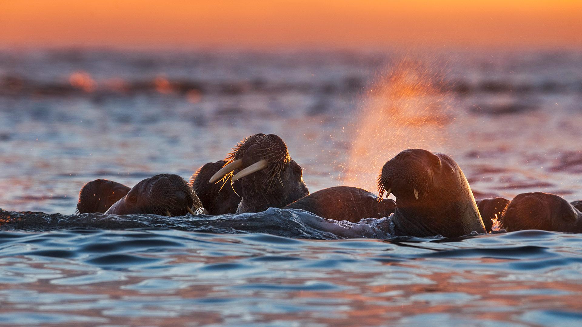 Tooth Walking Seahorse