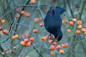 Crab Apple Blackbird