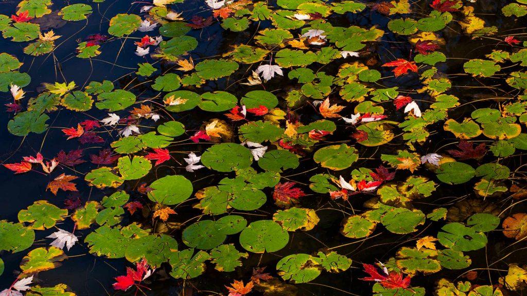 Fall Lily Pads