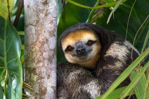 Pale Sloth
