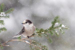 Gray Jay Branch