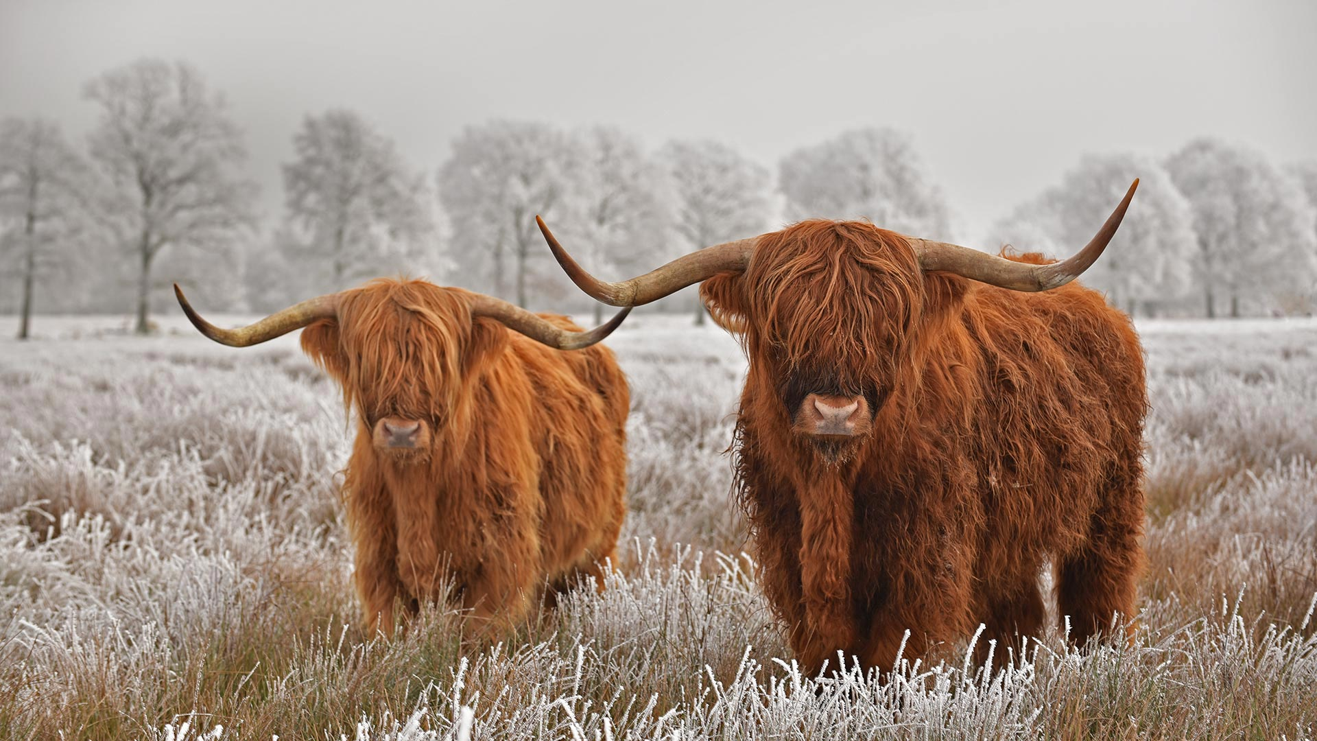 Hairy Highlanders