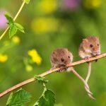 Tangled Mice