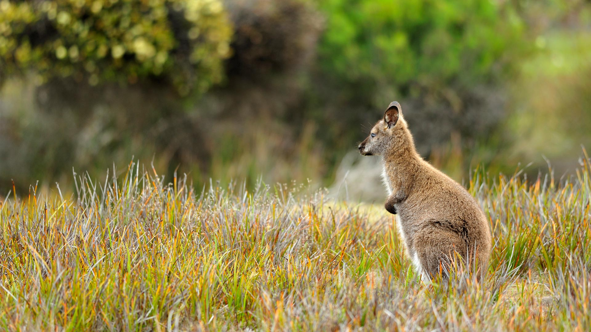 Wallaby Mt William