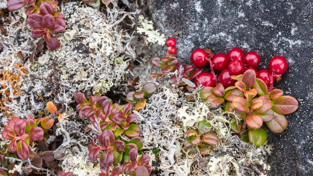 Bearberry Lichens
