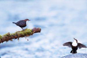 Bird Courting