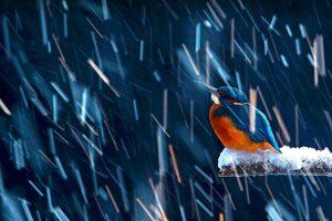 Kingfisher Salamanca