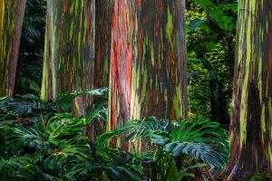 Maui Eucalyptus