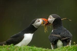 Puffin Sharing