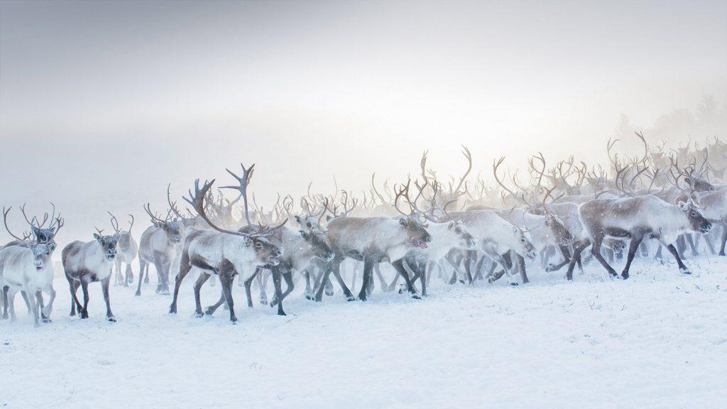 Reindeer Norway