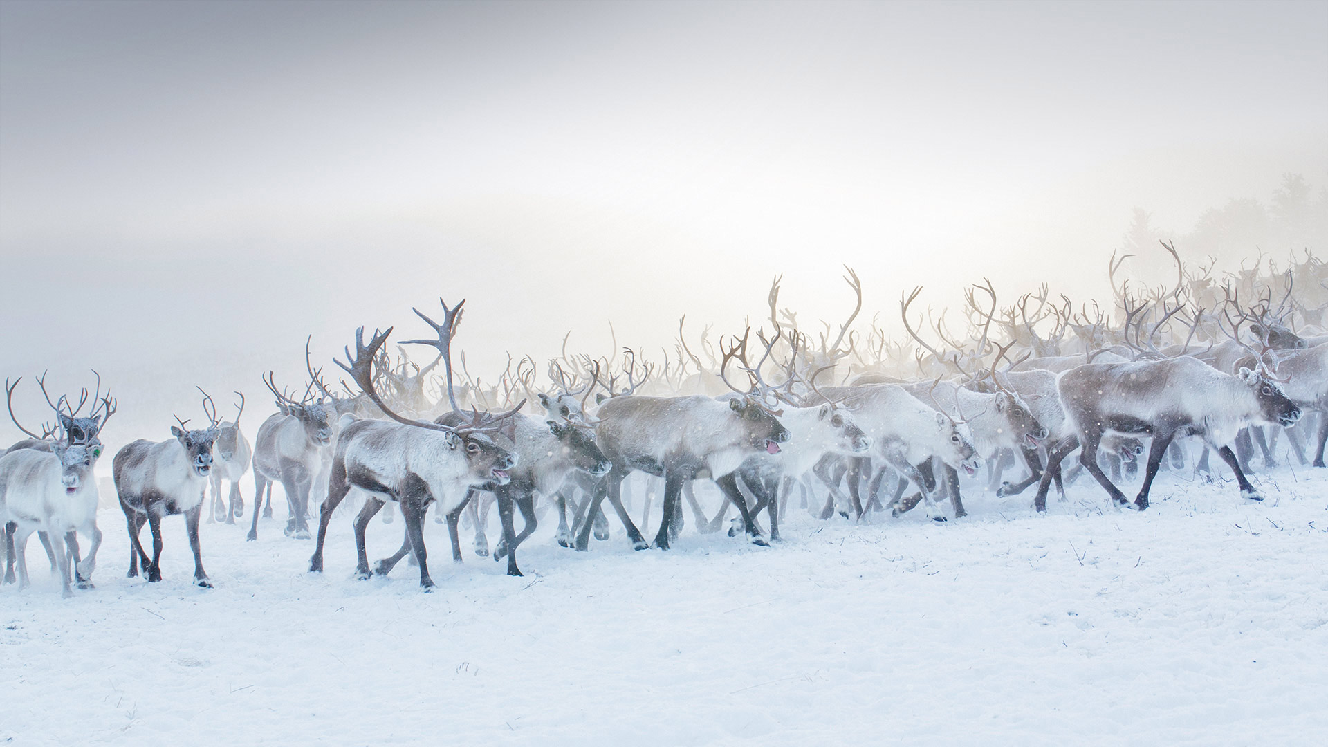 Reindeer Norway