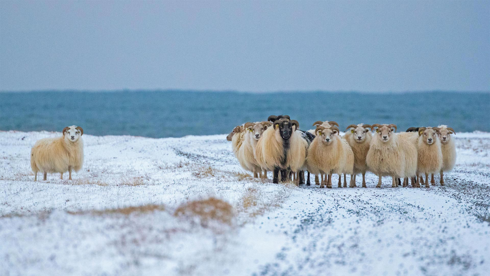 Sheep Cote Clod