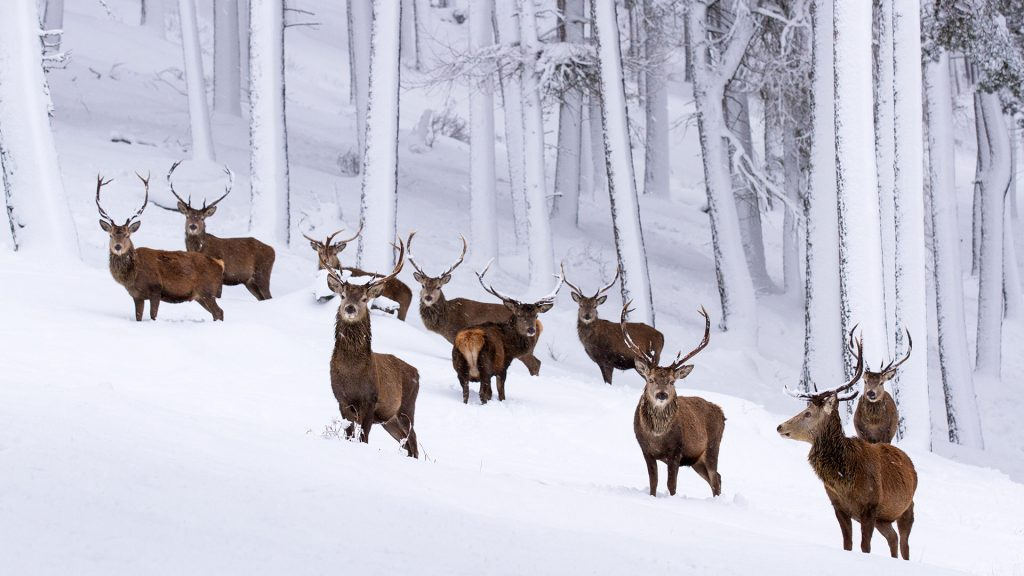 Snow Stags