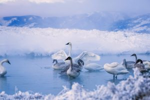 Trumpeter Winter