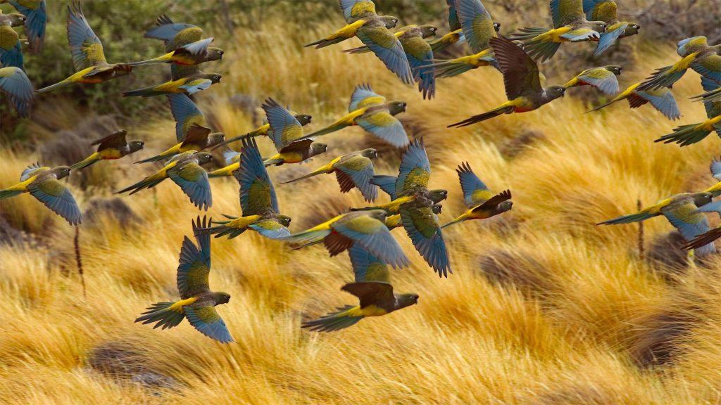Burrowing Parakeets