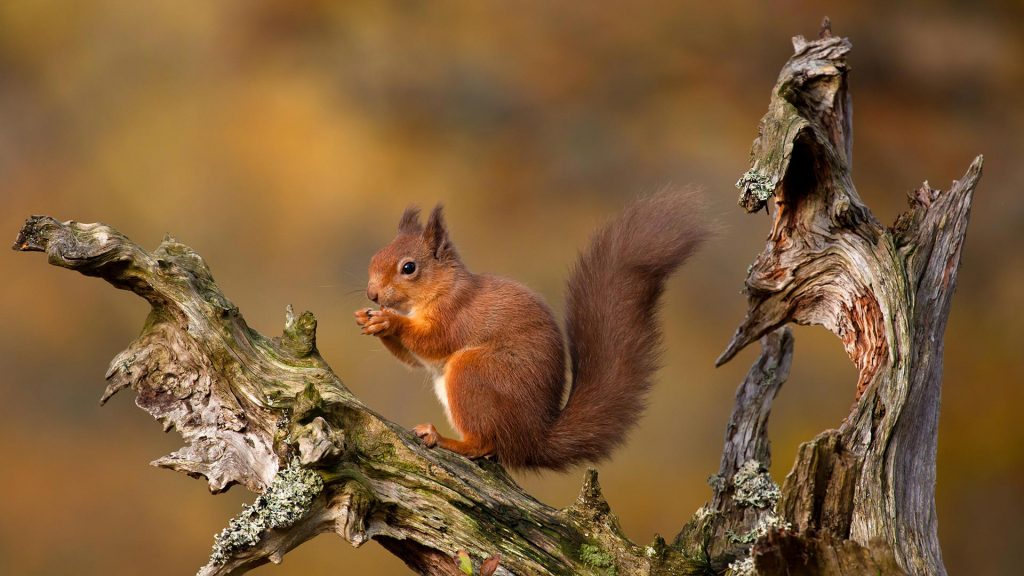 Highlands Squirrel