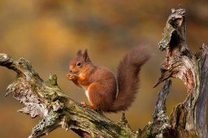 Highlands Squirrel