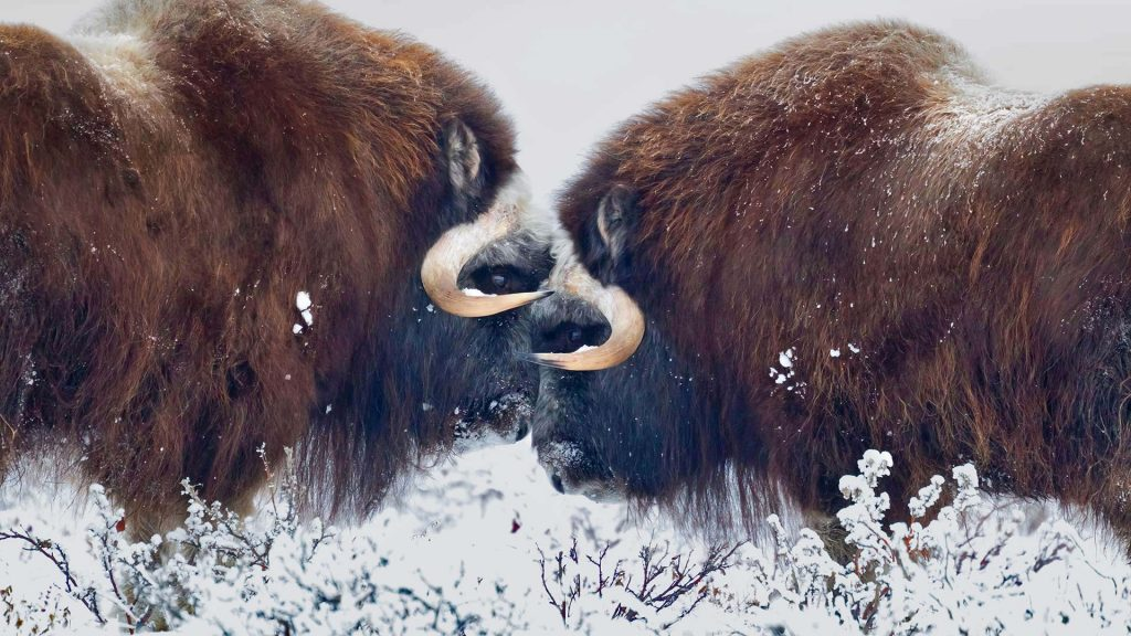 Musk Ox Winter