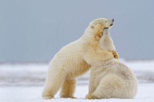 Two Polar Bears Alaska