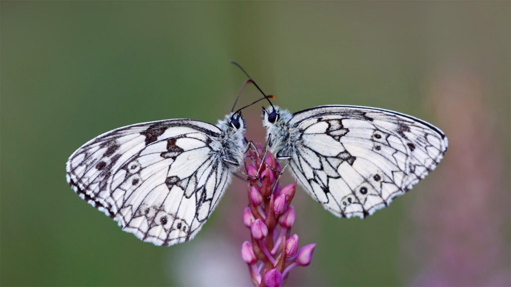 Butterfly Pair