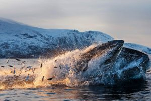Humpback Herring