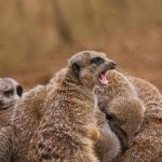 Meerkat Huddle