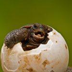 Pinzon Island Tortoise