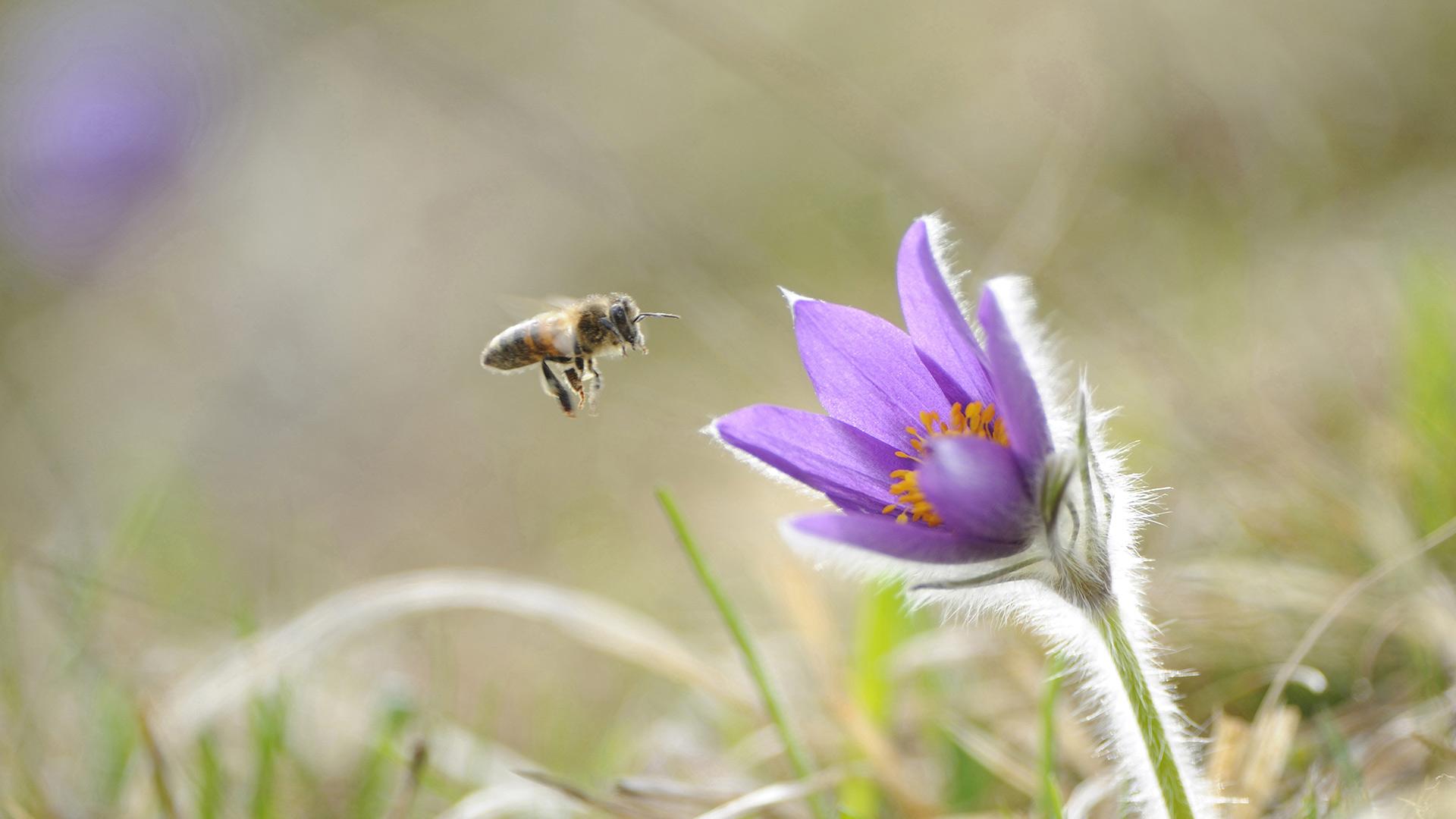 Biene Kuhschelle