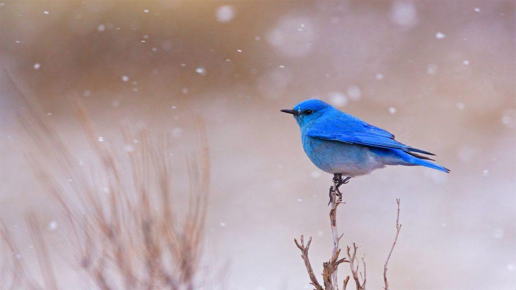 Bluebirds YNP