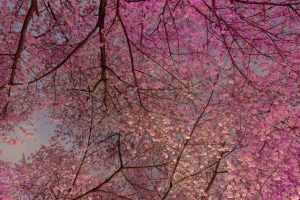 Van Cherry Blossom