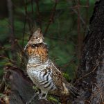 Algonquin Grouse