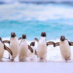 Falkland Rockhoppers