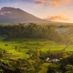 Bali Rice Harvest
