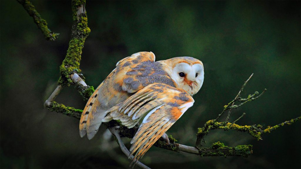 Barn Owl Migration