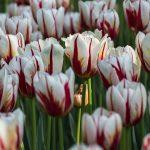 Maple Leaf Tulips