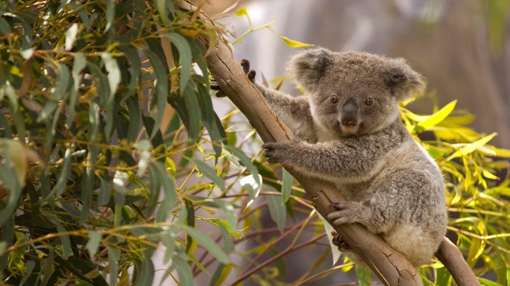 Perched Koala