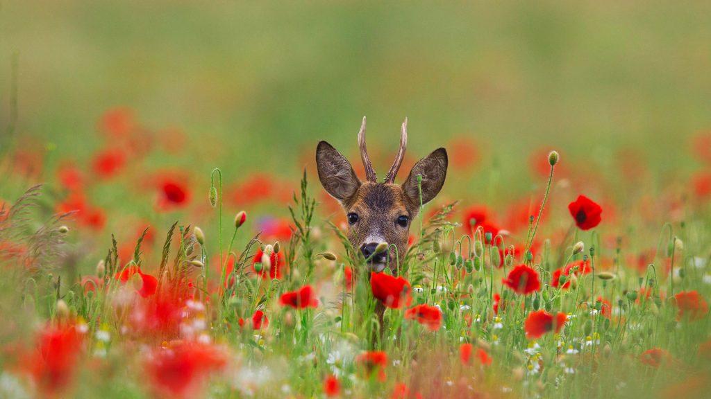Poppy Deer