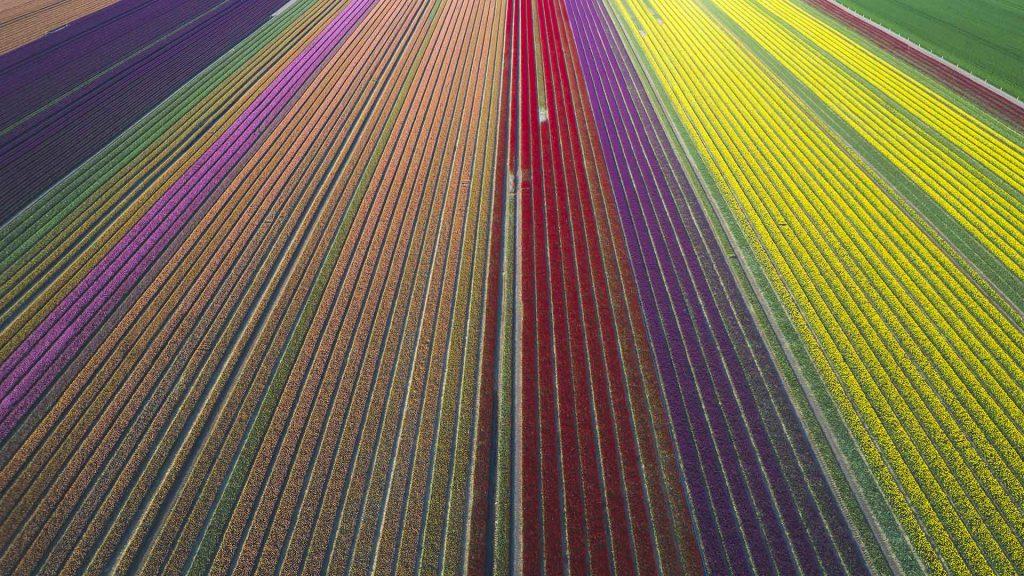 Tulip Fields DE