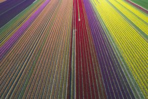 Tulip Fields DE