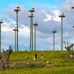 White Storks Caceres