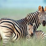 Zebra Mom