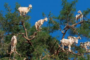Argan Goats