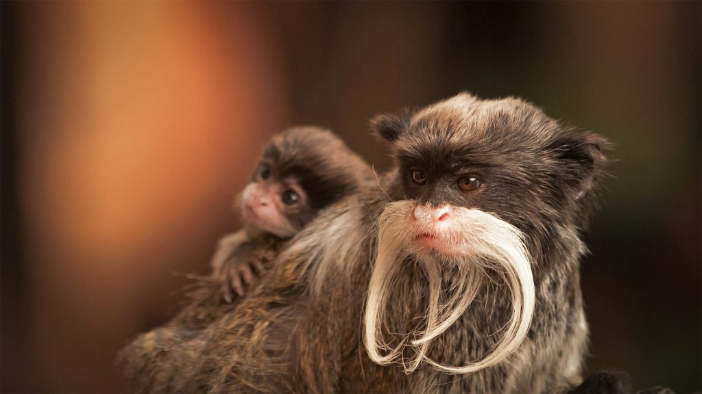 Bearded Tamarin