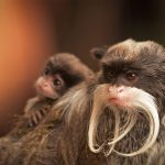 Bearded Tamarin