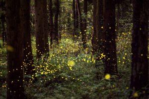 Firefliesforest
